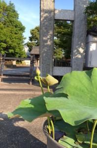 6月6日 蓮の花芽